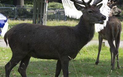 Deer stalking in Richmond Park
